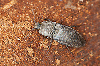 Mausgrauer Schnellkäfer, Mausgrauer Sandschnellkäfer, Mausgrauer Sand-Schnellkäfer, Adelocera murina, Agrypnus murinus, Agrypnus murina, Lacon murinus, Elateridae, Click Beetles, Click Beetle