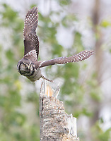 A male Northern Hawk Owl takes flight as it pursues a vole moving through the grass.
