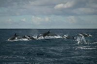 pantropical spotted dolphins, Stenella attenuata, porpoising out of the water while traveling at high speed, Wild Coast, Transkei, South Africa (do)