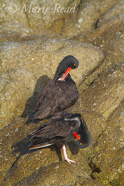 Black Oystercatcher (Haematopus bachmani), pair preening, Monterey Peninsula, California, USA