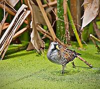 Sora standing in duckweed in Green Cay Wetlands