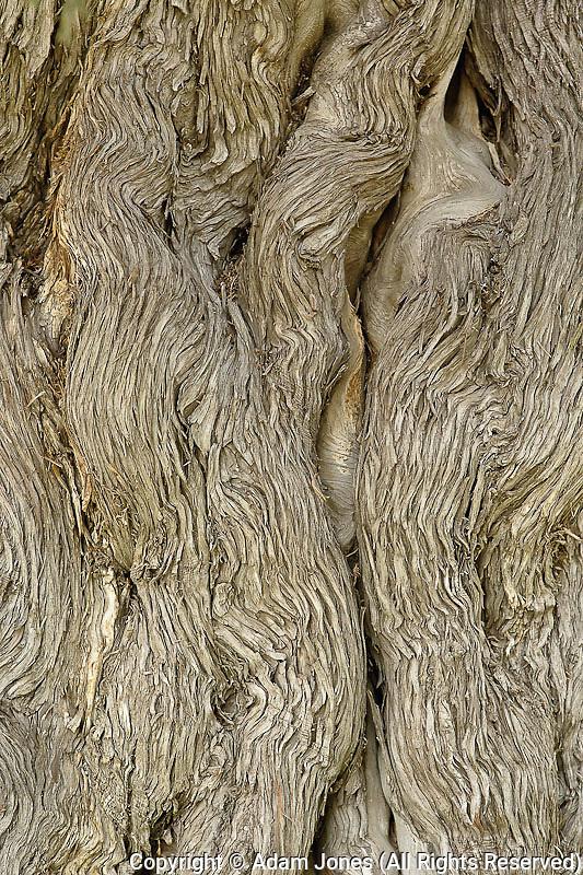 Bark pattern in Nine Dragon Juniper, Zhongshan Park, Beijing, China