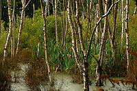 Silver birch trees, bullrushes, in bog in North Yorkshire, England. Sep 2007.