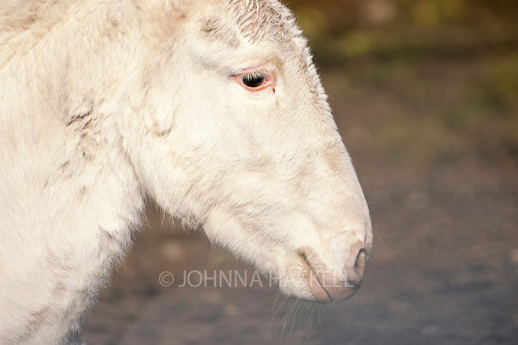 An albino horse pregnant from a male donkey has the possibility to produce the first albino mule.