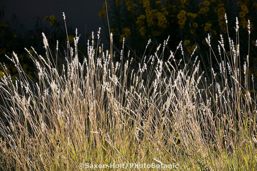 Andropogon hallii (Sand bluestem) New Mexico native grass in meadow garden