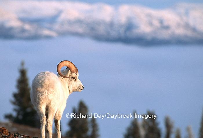 01989-01006 Dall Sheep (Ovis dalli) ram Kluane NP Yukon Canada