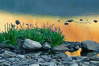 Parry's primrose and Fuller Lake<br /> Ice Lake Basin<br /> San Juan Mountains<br /> San Juan National Forest,  Colorado