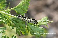 03009-02004 Black Swallowtail (Papilio polyxenes) caterpillar on Parsley Marion Co. IL