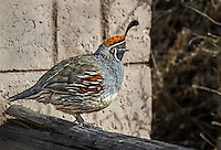 Male Gambel's Quail perched on a fence in front of concrete wall