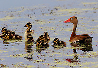 Black-bellied whistling-duck with babies. Note one little guy is trying out its featherless wings.