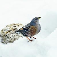 Alpenbraunelle, Alpen-Braunelle, Prunella collaris, Laiscopus collaris, alpine accentor, L'Accenteur alpin
