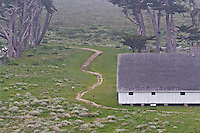 Fine art landscape of beginning of Tomales Point Trail, winding past an old dairy barn on Pierce Point Ranch, and leading up a hill coated with green grass and spring wildflowers, turning behind a stand of weathered cypress trees, in  muted light from barely visible fog, in Point Reyes National Seashore.