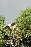 Short-tailed Hawk (Buteo brachyurus) nest, adult female feeding nestling; Arizona, (Nesting Record)