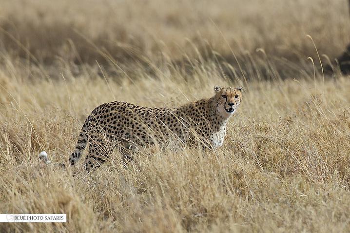Cheetah hunting the savanna, Central Serengeti