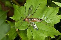 Faltenmücke, Faltenschnake, Phantomlangläufer, Phantom-Langläufer,  Ptychoptera spec., phantom crane fly, Faltenmücken, Faltenschnaken, Ptychopteridae, phantom crane flies, Ptychopterid craneflies