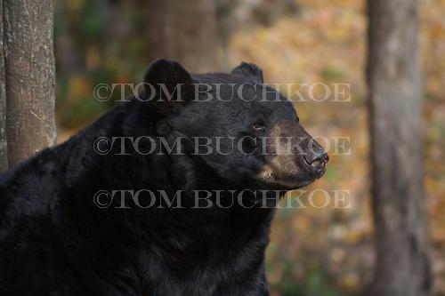 American Black Bear (Ursus americanus) in the Upper Peninsula of Michigan.