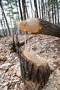 Freshly fallen trees from beavers at  Danville, New Hampshire Town Forest during the spring months