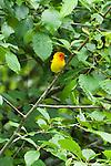 Western Tananger, Dungeness River Audubon Center, Olympic Peninsula, Washington.