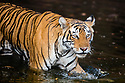 India, Rajasthan, Ranthambhore National Park, Bengal tigress walking across waterhole