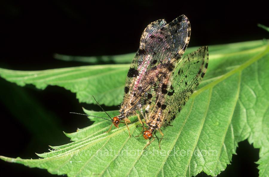 Europäischer Bachhaft, Paarung, Kopulation, Kopula, Bachhafte, Osmylus fulvicephalus, Osmylus chrysops, osmylid fly, Giant lacewing stream, pairing, copula, Osmyles, osmylid flies