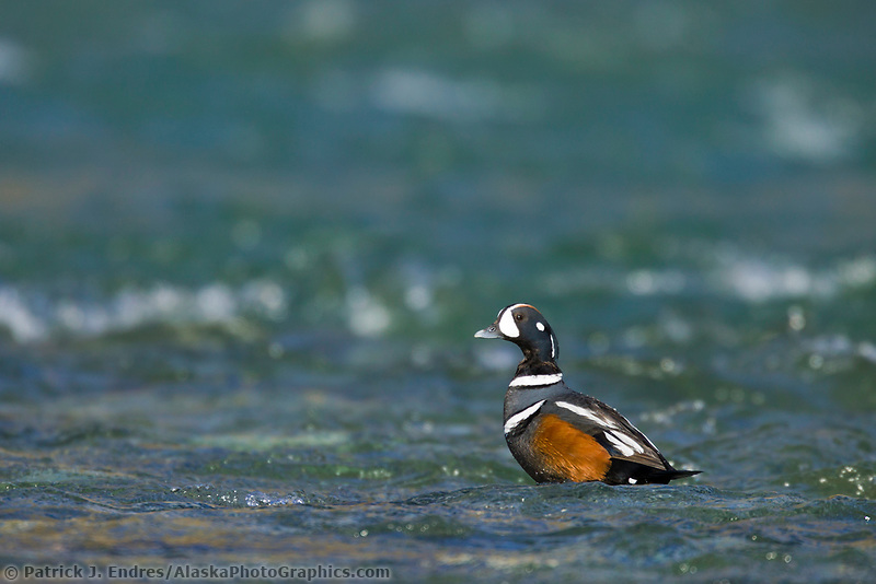 Harlequin drake, Kongakut river, Brooks range mountains, Arctic National Wildlife Refuge, Alaska