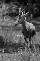 "Thomson's gazelle, or ""tommies"", have a light coat on top with a distinctive dark stripe on its side. Their horns are long and slightly curved."