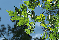 Ashleaf Maple (Box Elder) Acer negundo (Aceraceae) HEIGHT to 20m <br /> Small but vigorous deciduous tree with numerous shoots growing from bole and main branches. BARK Smooth in young trees, replaced by darker, shallowly fissured bark in older trees. BRANCHES With green shoots and small buds that have only 2 whitish scales. LEAVES Pinnate, to 15cm long with 3 or sometimes up to 7 irregularly toothed oval leaflets. REPRODUCTIVE PARTS Male and female flowers occur separately, opening in March before leaves. Petals are absent; male flowers are greenish with prominent red anthers, and female flowers are greenish-yellow and pendent. Brown fruits are about 2cm long with wings slightly spreading, remaining on tree after leaves have fallen. STATUS AND DISTRIBUTION Native of E North America, commonly planted as an ornamental tree, and sometimes for shelter; sometimes naturalised.