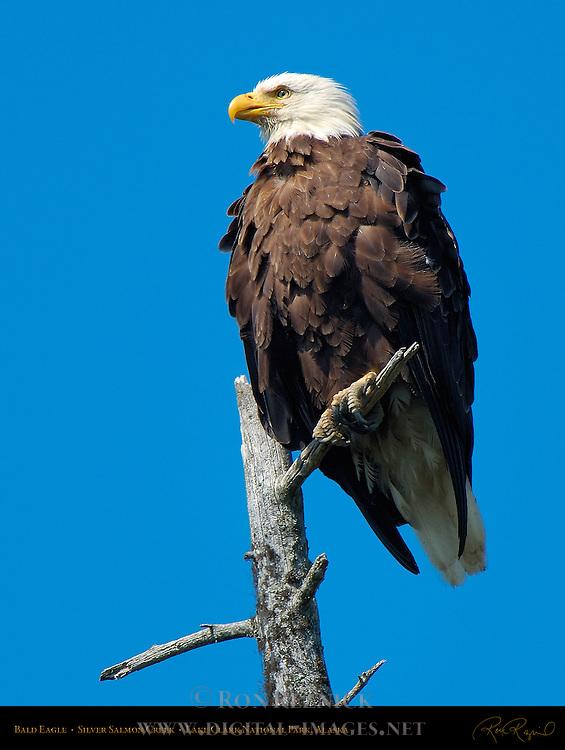 Bald Eagle, Silver Salmon Creek, Lake Clark National Park, Alaska