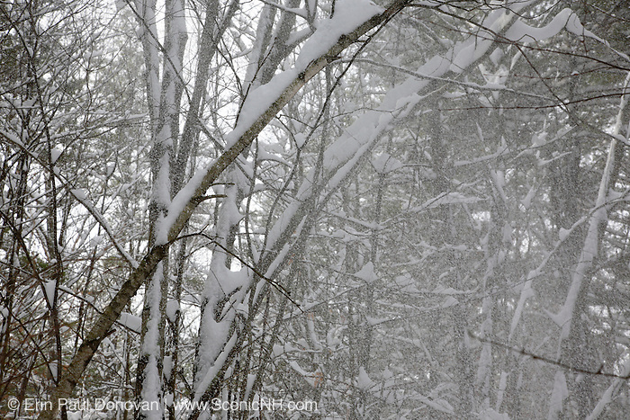 Wind causes snow to blow off trees in a New England forest during the winter months