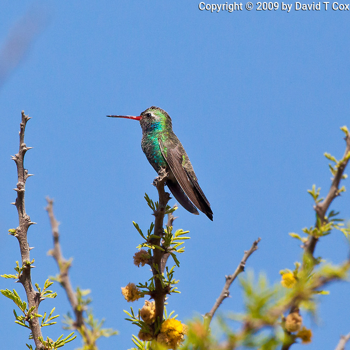 Broad-Billed Hummingbird male, San Miguel, Guanajuato, Mexico