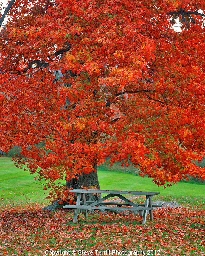 Red maple and picnic table in New York