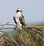Osprey.Pandion haliaetus.at Viera Wetlands Viera Florida, February 27, 2008. Fitzroy Barrett