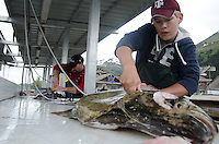 Charter employees fillet halibut for their clients on the Seward small boat harbor cleaning tables after a trip to Montague Island in June 2011.