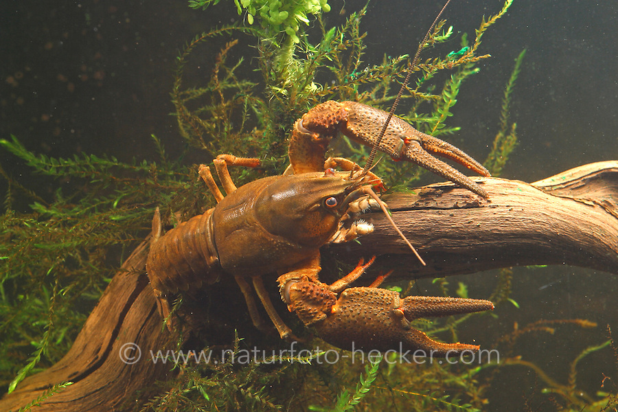 Europäischer Flusskrebs, Flußkrebs, Edelkrebs, Astacus astacus, syn. A. fluviatilis, European crayfish, Noble crayfish, Broad-fingered crayfish