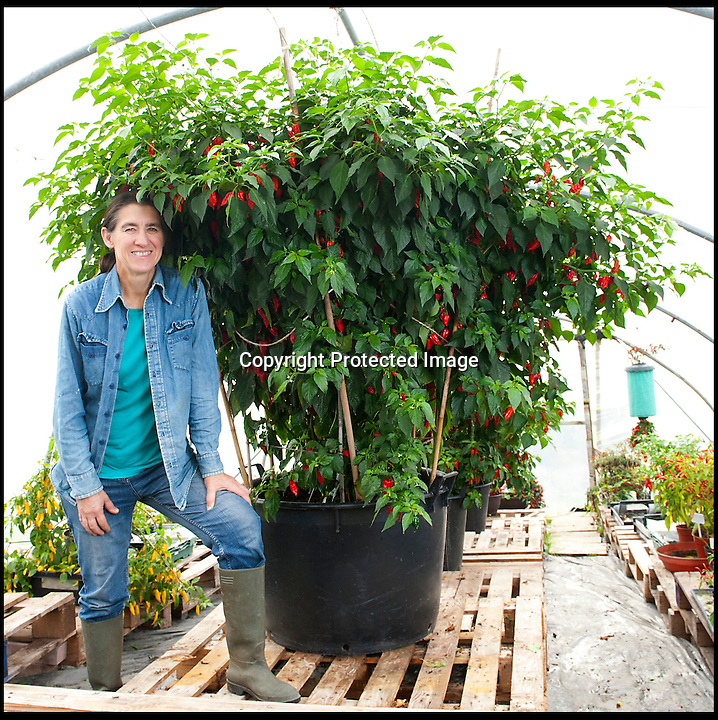 BNPS.co.uk (01202 558833)<br /> LauraJones/BNPS<br /> <br /> Red hot record...<br /> <br /> Tree of fire turns into pot of gold - Dorset Chilli farmer Joy Michaud is hoping she has set a new world record after collecting an astonshing 2407 chilli's from one bush at the weekend.<br /> <br /> Joy Michaud with the chilli tree.<br /> <br /> Its been a bumper year for chilli's and farmer Joy Michaud has grown a 'tree of fire' with over two thousand of the worlds hottest on it.<br /> <br /> The average chilli 's heat is measured at 30,000 scovell's but the legendary Dorset Naga has been measured at 1.2 million scovel's.<br /> <br /> With that in mind great care has to be taken when handling the explosive crop.<br /> <br /> Joy said 'growing conditions have been perfect this year and  I have never seen a chilli tree this big before, its astonishing.'