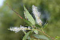 Crack Willow - Salix fragilis