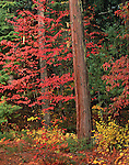 Rogue River National Forest, OR<br /> Western Flowering Dogwood (Cornus nuttallii) in fall color and weathered trunk at the forest margin on the upper Rogue River