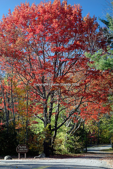 Maple tree in the Fall at Camden Hills State Park, Maine, USA.