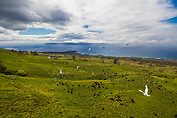 Cattle egrets take flight over cattle at Ulupalakua Ranch, Maui.