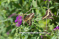 03017-01302 Giant Swallowtail butterflies (Papilio cresphontes) male and female at Butterfly Bush (Buddleia davidii)  Marion Co., IL