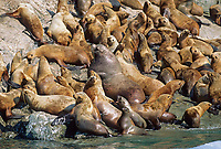 Bull and cows, Steller's Sea Lion, Glacier Island, Prince William Sound, Alaska