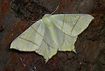 Swallowtailed Moth, Ourapteryx sambucaria, at night in garden, on tree trunk.United Kingdom....