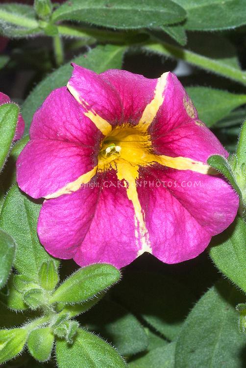 Callibrachoa Superbells Cherry Star striped pink and yellow flowers