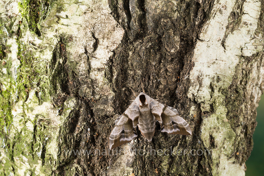 Abendpfauenauge, Abend-Pfauenauge, Smerinthus ocellata, Smerinthus ocellatus, Eyed Hawk-Moth, Eyed Hawkmoth, Le sphinx demi-paon, Schwärmer, Sphingidae, hawkmoths, hawk moths, sphinx moths. Tarnung, camouflage