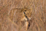 African Lion (Panthera leo) eight year old female, Kafue National Park, Zambia