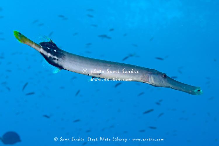 Trumpetfish (Aulostomus chinensis) , Wolf Island, Galapagos Islands, Ecuador