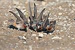 Cliff Swallows (Petrochelidon pyrrhonota) group coming to muddy puddle to gather mud as nesting material, Mono Lake Basin, California, USA