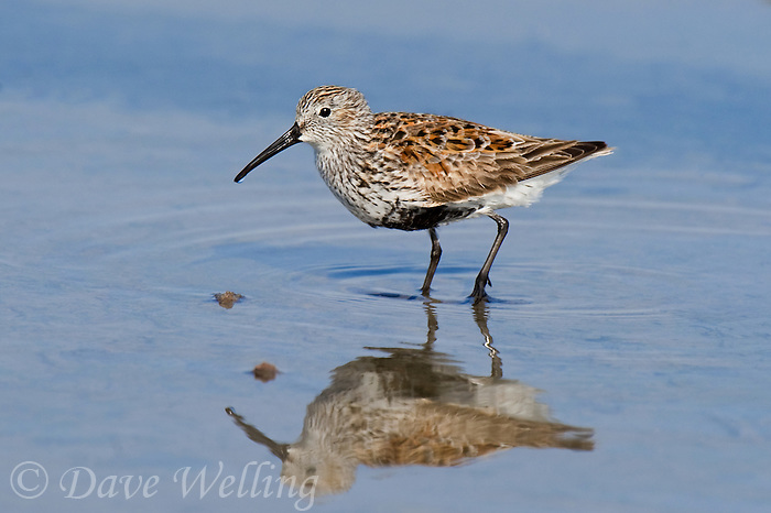 520940004 a wild breeding plumage dunlin alpina hudsonia patrols along the shoreline on south padre island off the texas coast