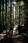 Backlit trees in woodland,Vancouver island,British Colombia, Canada.