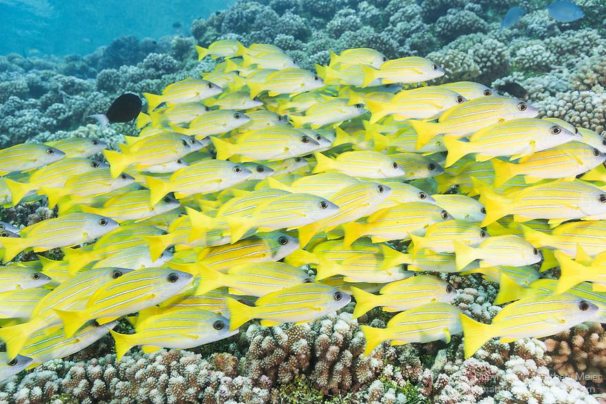 Fakarava Atoll, Tuamotu Archipelago, French Polynesia; a school of bluestriped snapper fish swimming over the shallow hard coral reef